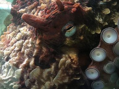 Salish, giant Pacific octopus