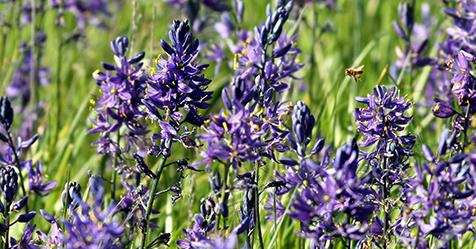 Camas wildflower field